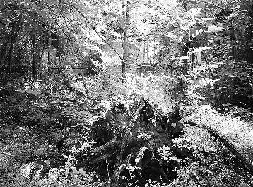 梦见大树连根拔起倒了