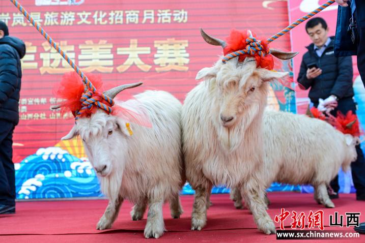 """""""羊界選美大賽:山西忻州古城紅毯競選""""美羊羊"""""""