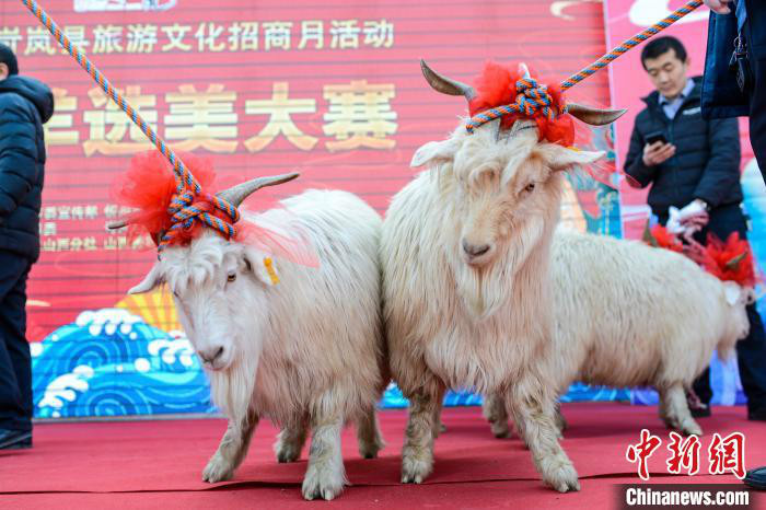 """羊界選美大賽:山西忻州古城紅毯競選""""美羊羊"""""""
