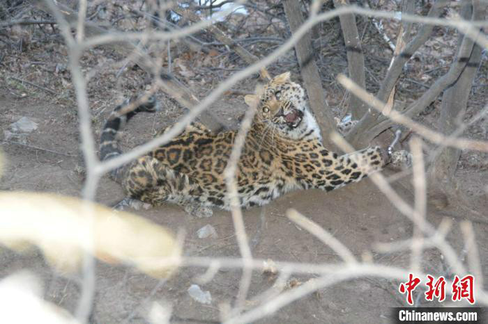 山西晋城警方侦破一起非法狩猎案 半山腰解救受伤金钱豹