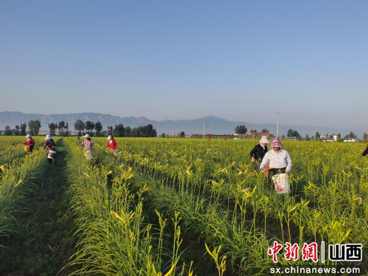 天镇县马家皂乡500亩黄花产业园区开始采摘