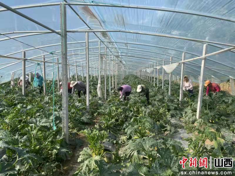 """山西长治市潞城区:西葫芦变为""""宝葫芦"""""""