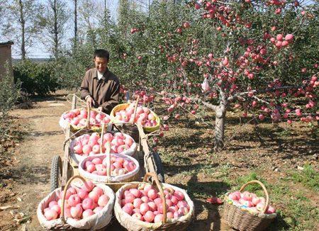 主会场的两侧树立着大型宣传吉县苹果生产画面,获奖情况以及壶口瀑布